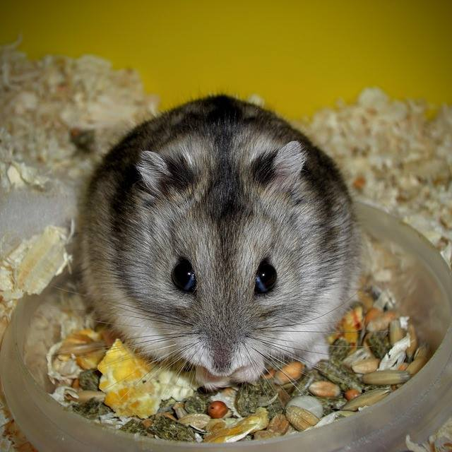 Campbell's dwarf hamsters