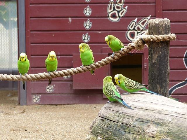 Parakeets bird group