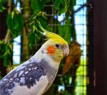Cockatiel Facts – All Basic Information of Cockatiel Bird