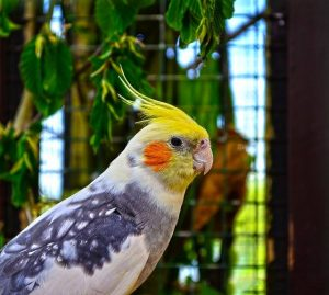 Cockatiel – All Basic Information of Cockatiel Bird