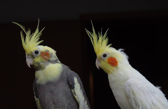 cockatiel bird pair