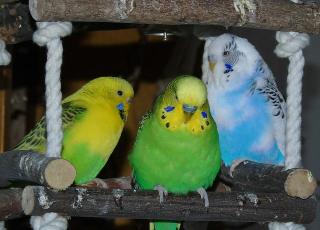 color of parakeet