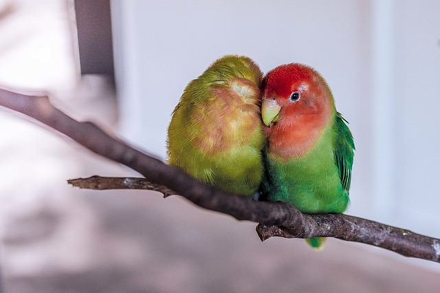 Facts about lovebirds lovebird pair forumfinder Choice Image
