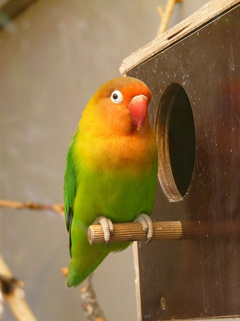 lovebirds as pet