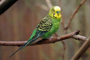 Parakeet – Personality, Food, Care of Parakeets bird