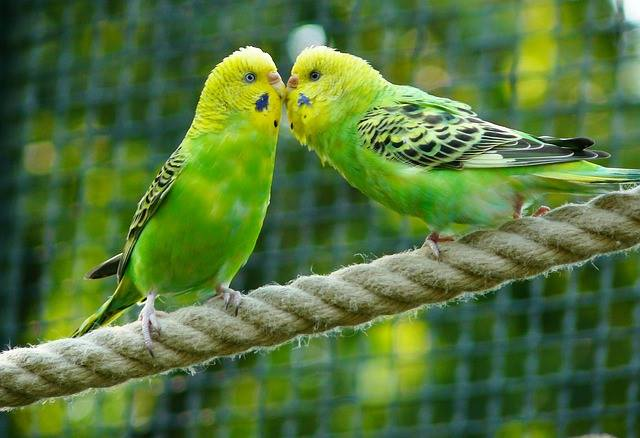 parakeets bird male-female
