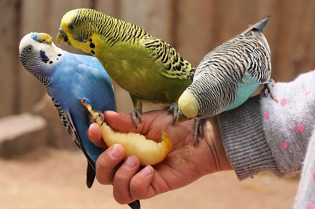parakeets bird training