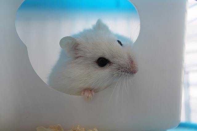 winter white hamsters