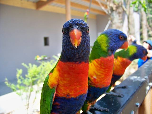 lory or lorikeets parrot