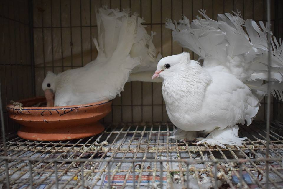 white pigeon of fantail
