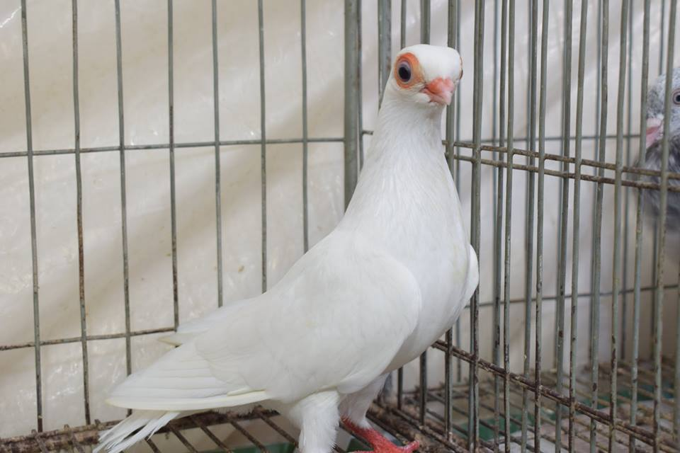 white pigeon shortface