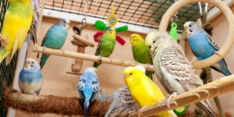 Top 10 Best Parakeet Toys To Buy For Your Birds Enjoyment in 2019 Reviews & Buying Guide