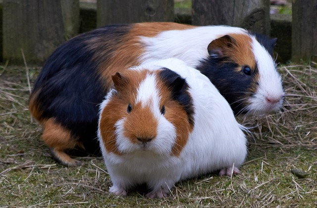 cage of guinea pig
