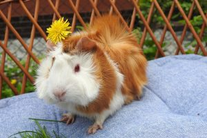Best Guinea Pig Cage – Reviews & Buyer's Guide
