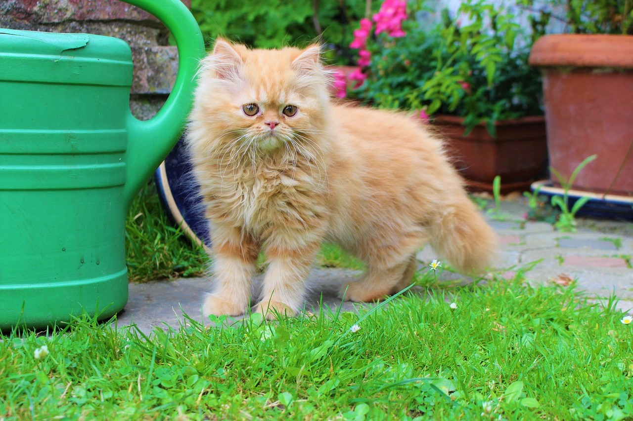most popular cat breed in USA