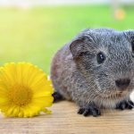 🐹Top Amazing 11 Guinea Pig Facts: You Need to Know