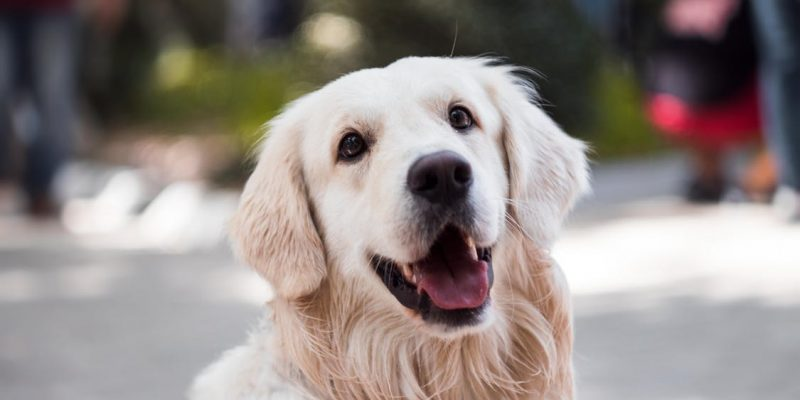 a happy golden retriever