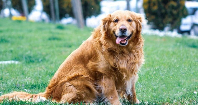 A golden retriever sitting