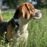 What Can I Give My Dog for an Ear Infection?