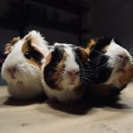 🥇Best Veggies for Guinea Pigs Daily
