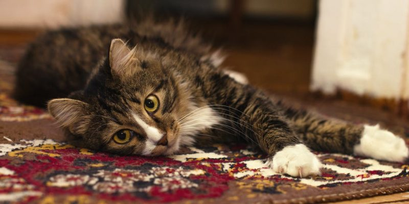 Pets can have a favorite carpet that they like to laze or pee on