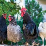 What is The Best Way to Heat a Chicken Coop
