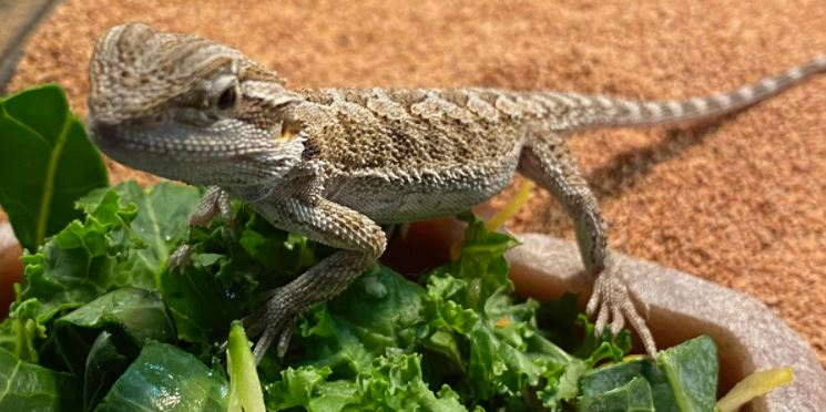 Are Bearded Dragons Good Pets